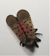 controlling spotted lanternfly